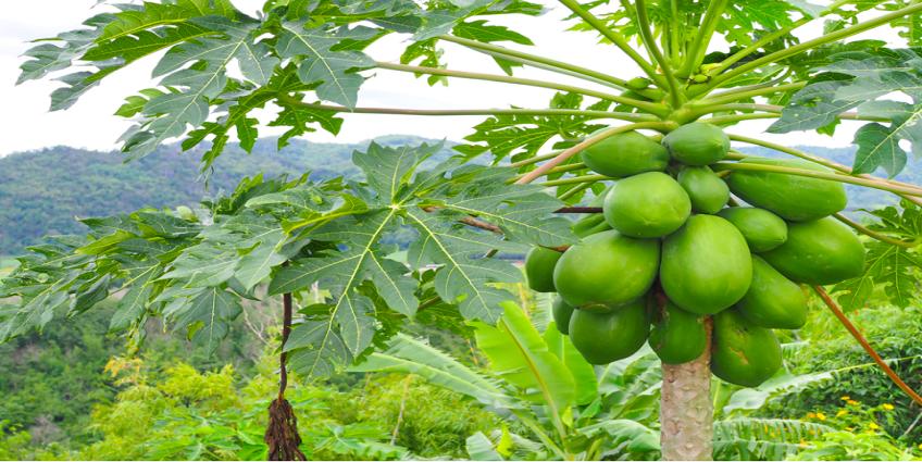 Không chỉ là quả ngon, từ lá tới rễ đu đủ có thể chữa nhiều bệnh tại nhà