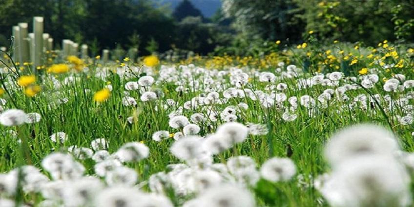Bồ công anh - Loài hoa đẹp, trị bệnh hay