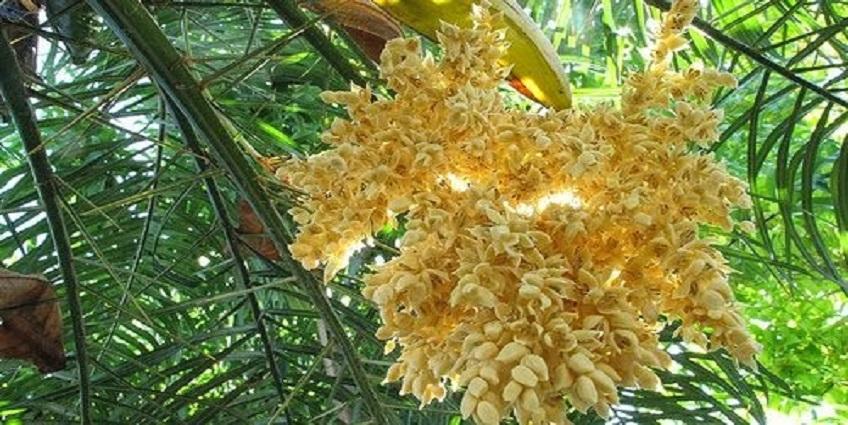 Mật hoa dừa - Công dụng và cách dùng