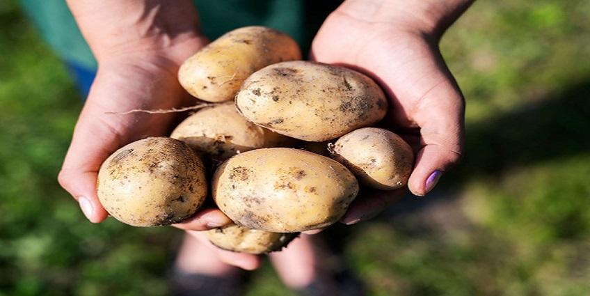 Bột khoai tây làm đẹp mái tóc