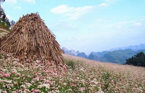 Hoa tam giác mạch nở sớm trên cao nguyên đá Đồng Văn