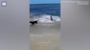 """Kinh ngạc cảnh đàn chó lao xuống biển đùa giỡn với """"sát thủ đại dương"""" đang săn mồi"""
