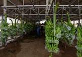 Hệ thống ròng rọc vận chuyển chuối tại trang trại ở miền Tây
