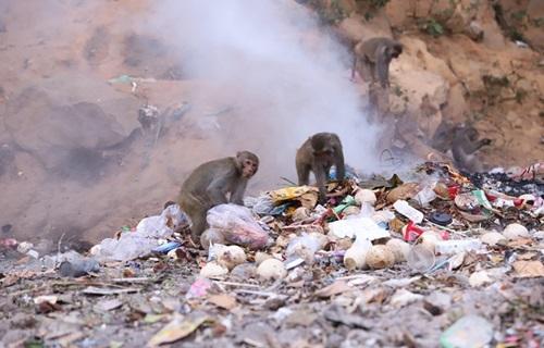 Khỉ ở bán đảo Sơn Trà tràn về bãi rác kiếm ăn