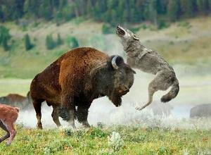 Bầy sói ranh mãnh dùng chiến thuật săn mồi tấn công bò rừng khổng lồ