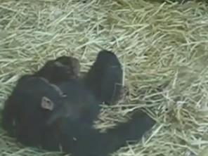 Chú khỉ Bonobo 'tự sướng' với ếch
