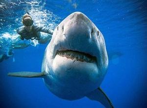 Tận mắt chiêm ngưỡng, sờ vây cá mập trắng khổng lồ 2,5 tấn, sống qua 5 thập kỷ