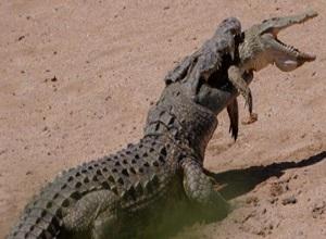 Hãi hùng cảnh cá sấu nuốt chửng, xơi tái đồng loại