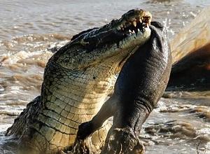 Cá sấu và những màn săn mồi siêu tốc của vua đầm lầy